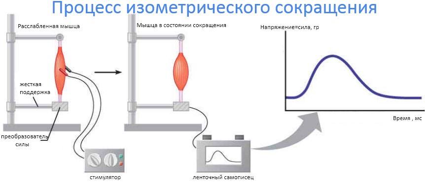 процесс изометрического сокращения