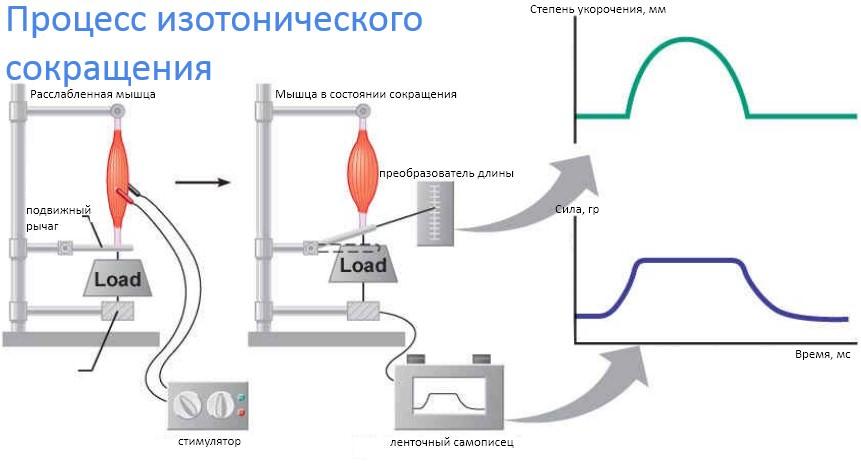 процесс изотонического сокращения
