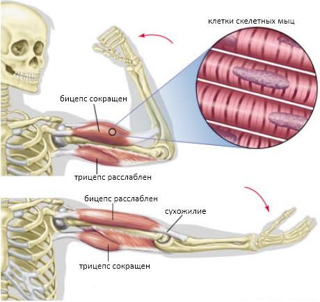 сгибание руки, работа мышц