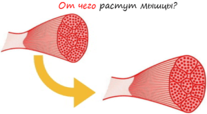 От чего растут мышцы лого