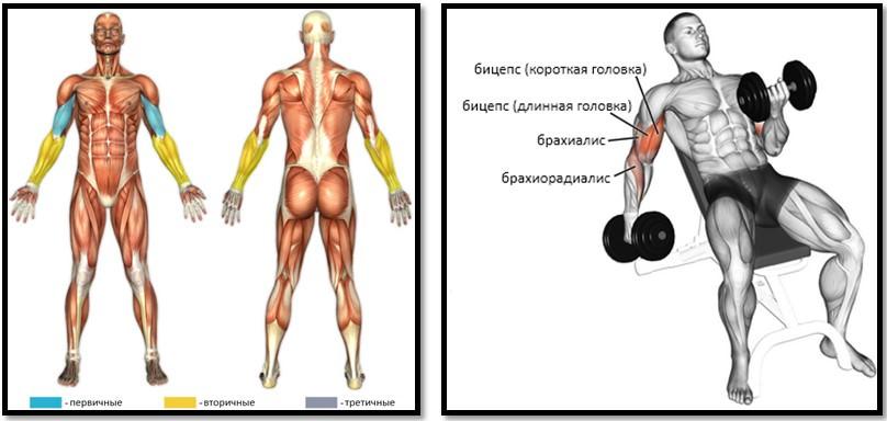 Подъем гантелей на бицепс сидя под углом вверх, мышцы