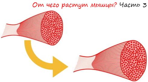 От чего растут мышцы. Часть 3 лого