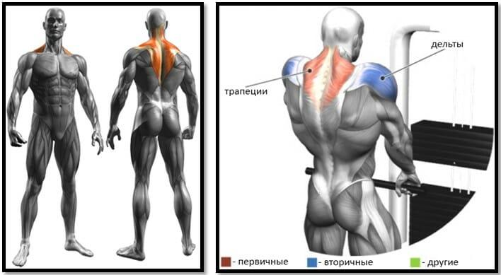 Шраги с нижнего блока, мышцы