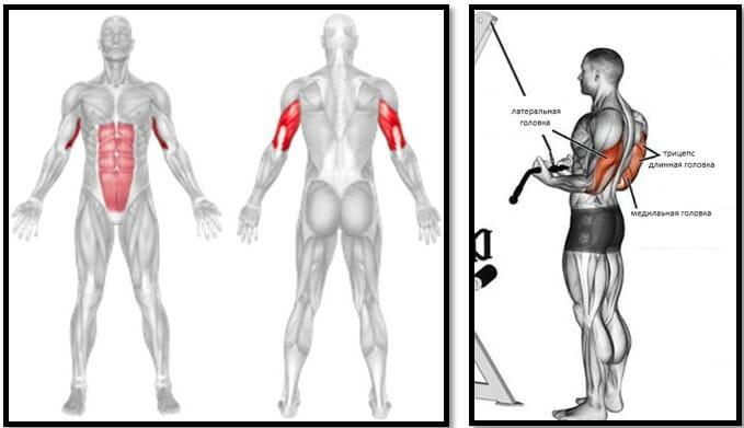 Обратные разгибания рук на блоке, мышцы