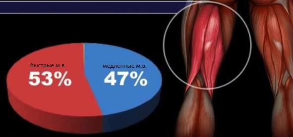 Бицепс бедра мышечные волокна