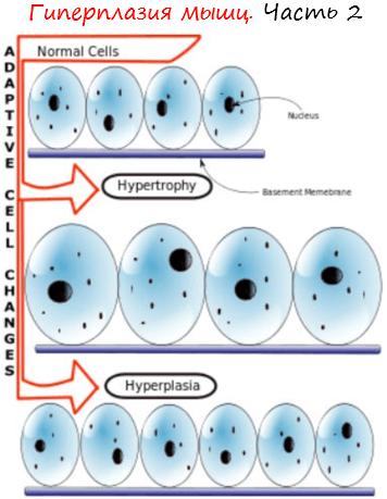 Гиперплазия мышц. Часть 2 лого