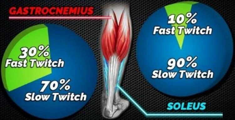 Мышцы голени мышечные волокна