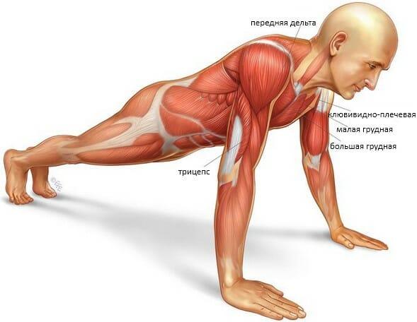 Отжимания под углом вверх, мышцы