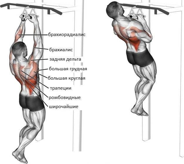 Подтягивания параллельным хватом, мышцы