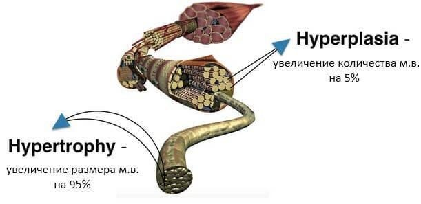 гипертрофия и гиперплазия мышц, сравнение в цифрах