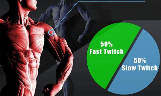 плечи тип мышечных волокон