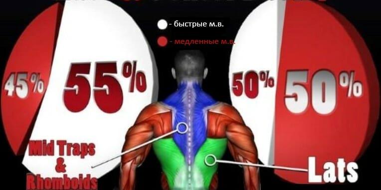 спина тип мышечных волокон