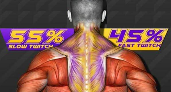 трапеции тип мышечных волокон