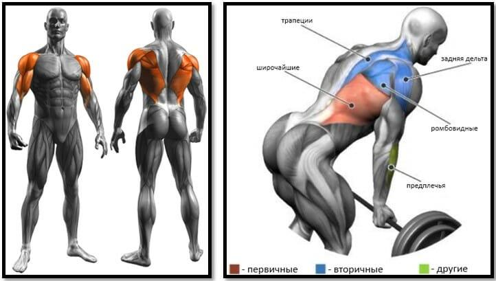 Тяга штанги в наклоне обратным хватом, мышцы
