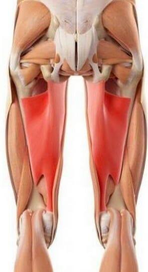 анатомия большая приводящая