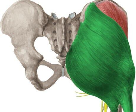 анатомия большая ягодичная