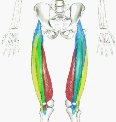 анатомия квадрицепс