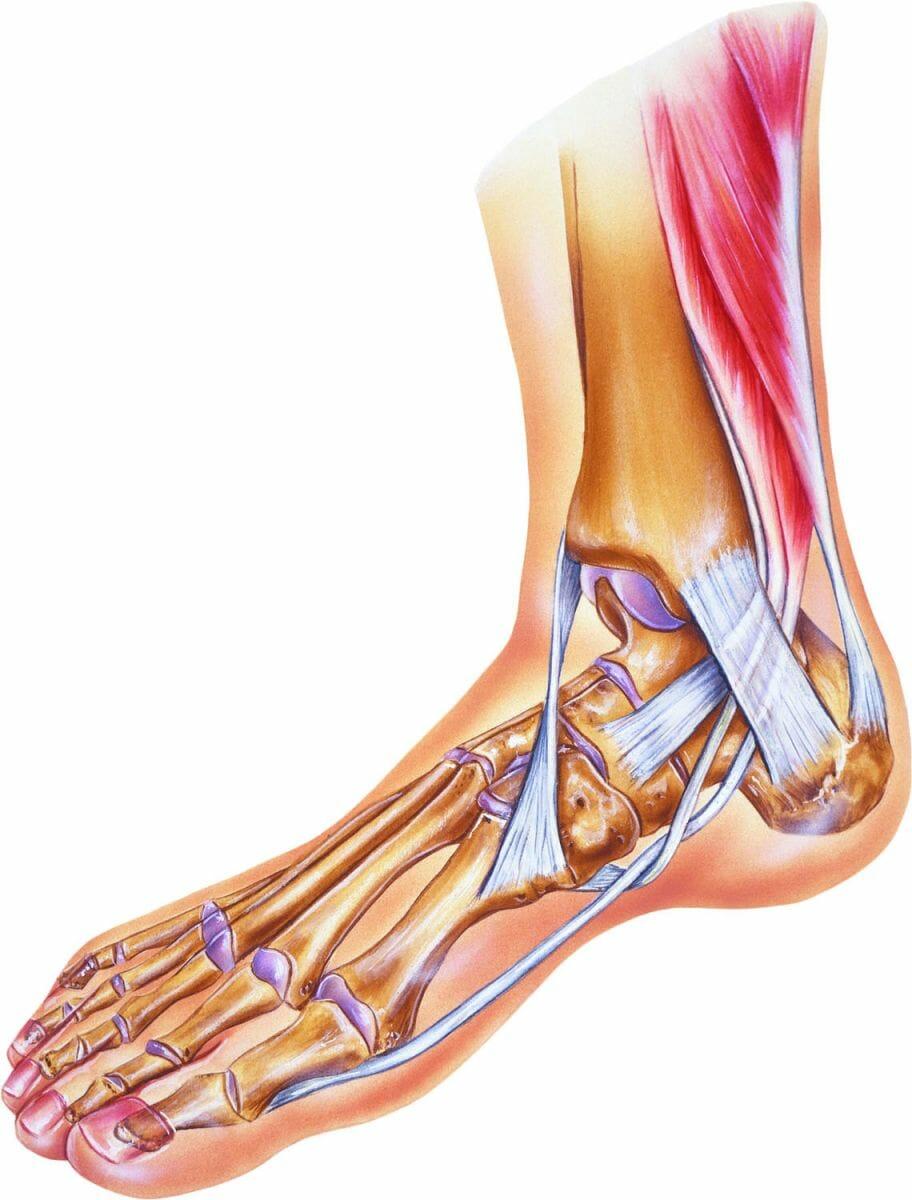 анатомия лодыжка