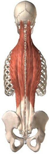 анатомия, разгибатели спины