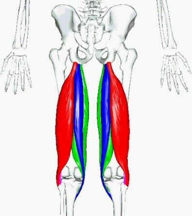 анатомия задняя поверхность бедра