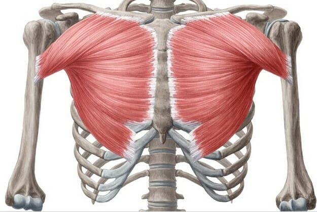грудные мышцы, анатомия, жим штанги лежа