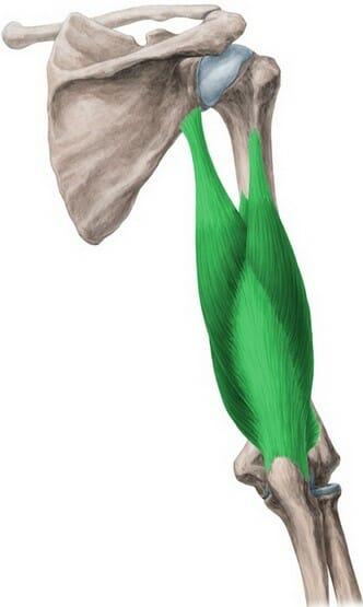 трицепс, анатомия, жим штанги лежа