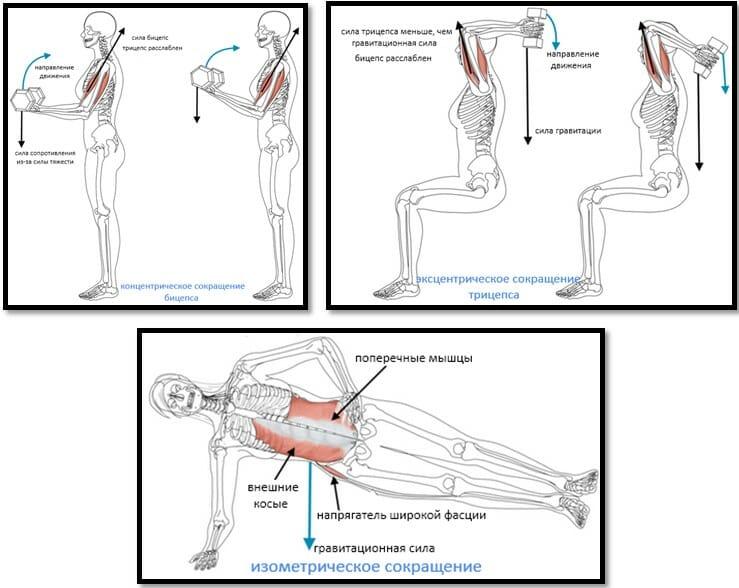 3 типа сокращения мышц, примеры