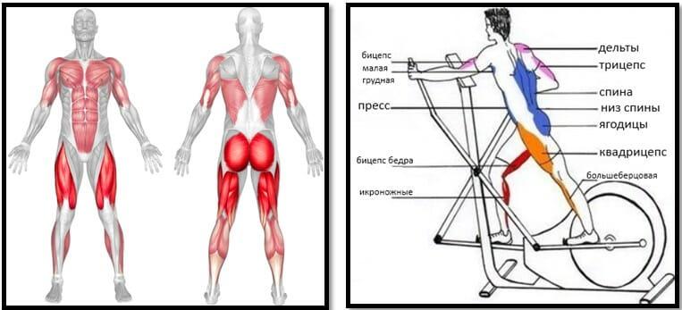 Эллиптический тренажер мышцы в работе