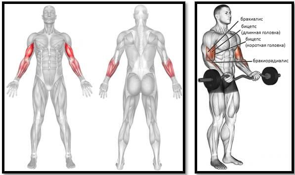 Подъем EZ штанги на бицепс, мышцы