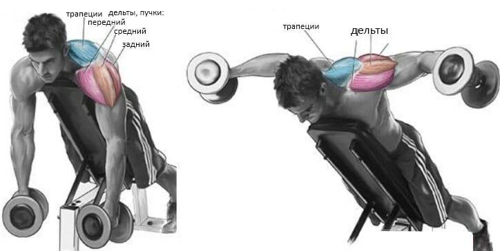 Разведение гантелей в стороны лежа на скамье под углом вверх, мышцы