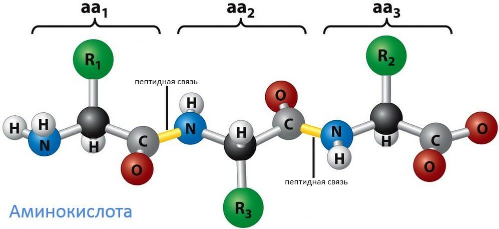 аминокислота, пептид химическое соединение