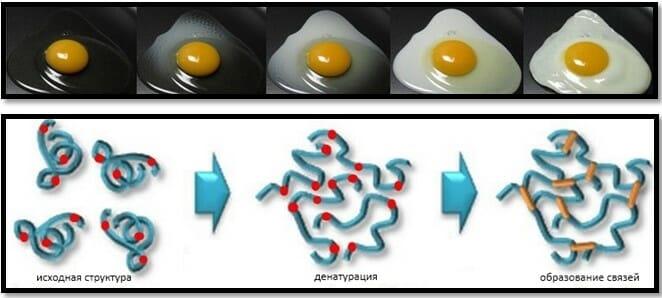 коагуляция белка яйца