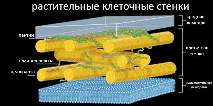 растительные клеточные стенки, структура