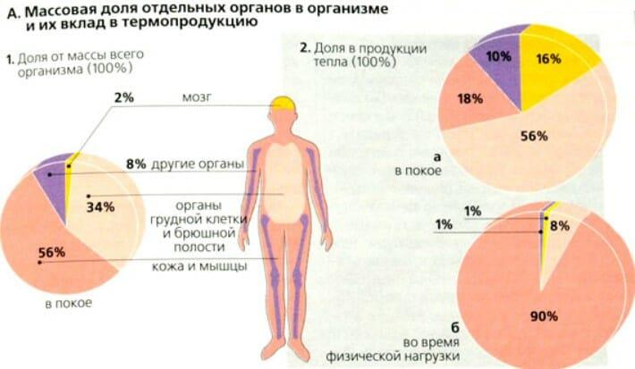 Массовая доля отдельных органов в организме и их вклад в термопродукцию