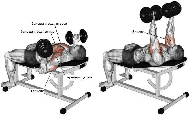 Обратный жим гантелей мышцы
