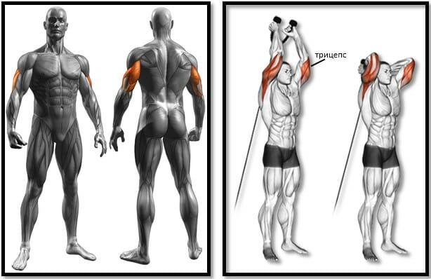 Французский жим на блоке стоя мышцы