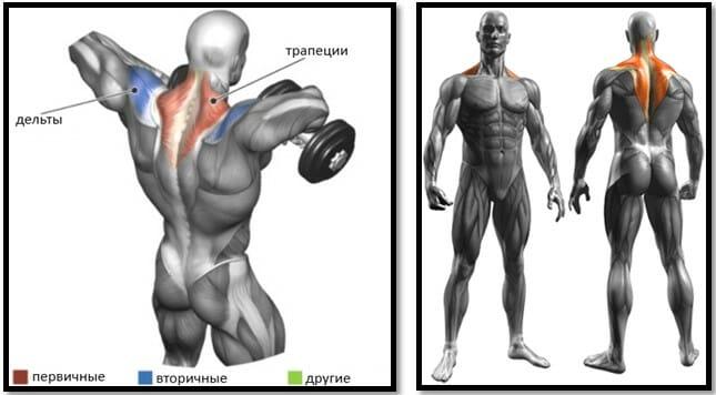 Тяга гантелей к груди мышцы