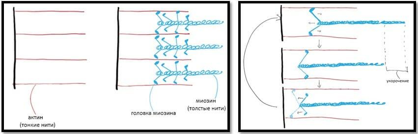актин и миозин, укорочение мышцы