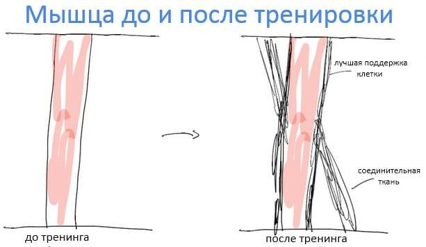 мышца до и после тренировки