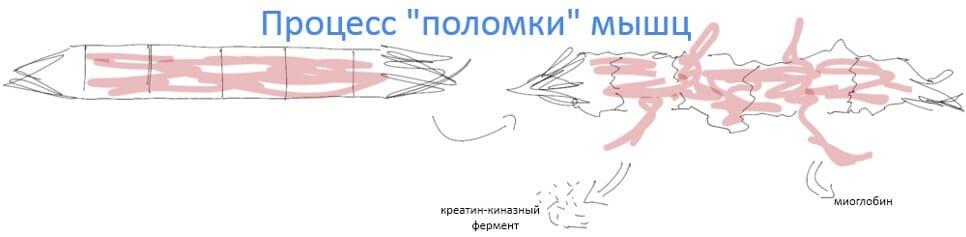 процесс поломки мышц