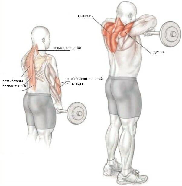 Тяга штанги к подбородку узким хватом мышцы
