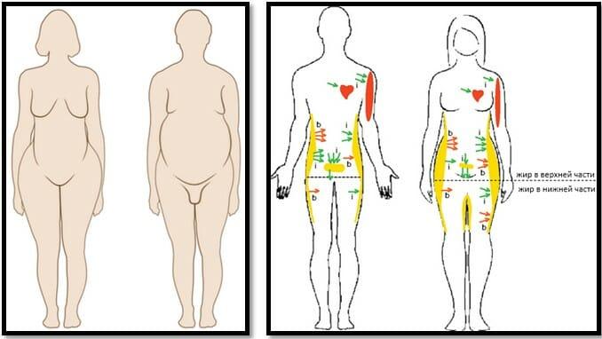 гендерные различия в хранении жира