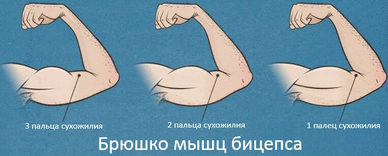 Брюшко мышц бицепса