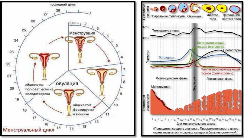 Менструальный цикл дни и фазы
