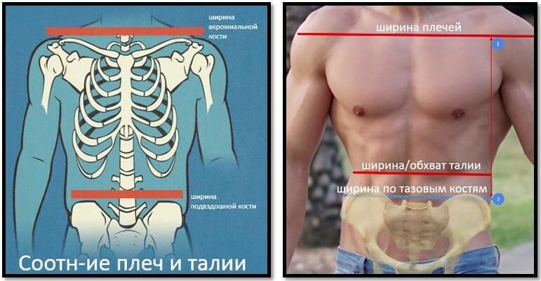 соотношение плеч и талии