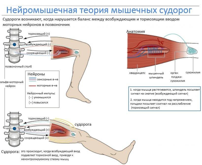 теория мышечный судорог