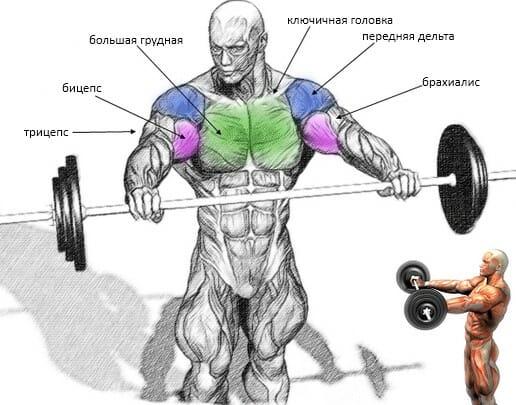 Подъем штанги перед собой мышцы