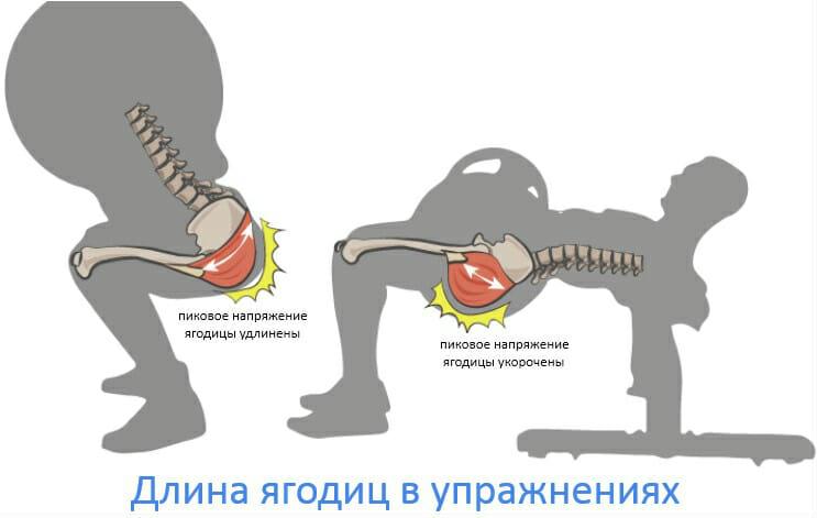 длина мышц ягодиц и пиковое напряжение в упражнениях