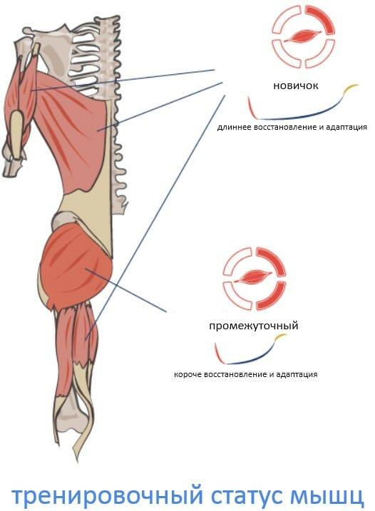 тренировочный статус мышц