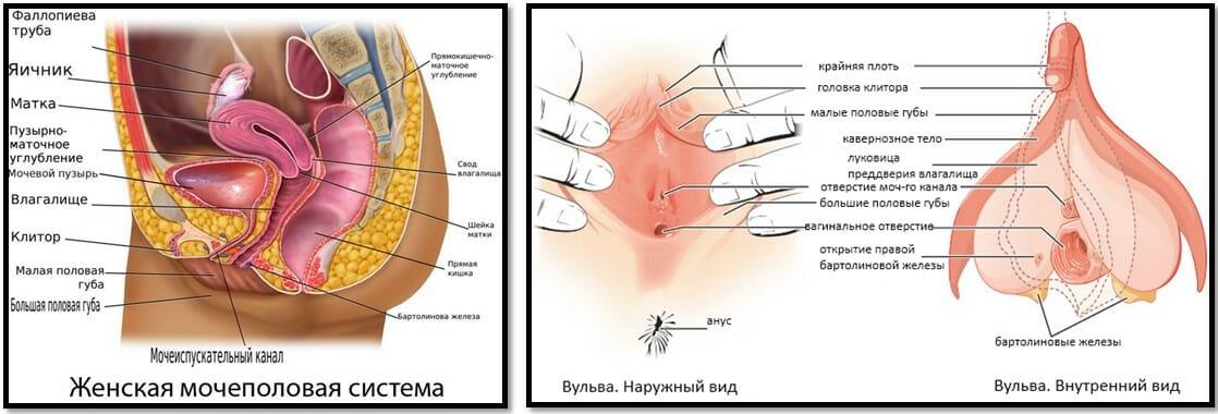 Женская сексуальная анатомия